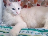 猫の種類に詳しいお方教えてください…!! 我が家で買っている猫の種類が知りたいです! ノルウェージャンやターキッシュアンゴラなどにている猫が多すぎて分かりません この子の種類は一体なんなのでしょうか…!  ちなみにお母さんも真っ白の長毛で黄色い目をしています