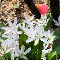この花の名前を教えてください。花びらの後ろに水色のラインが入ってました。