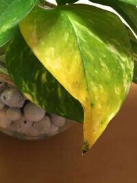 観葉植物としてポトスを育ててます。 先日確認してみると一枚だけ葉が黄色くなっていました。これは枯れる前兆でしょうか? またハイドロカルチャーで育ててます。水やりは水がなくなってから1日はそのままにして、また水やりする感じです。どなたか詳しい方教えてください!