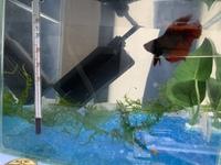 ベタの水槽に南米ウィローモスを入れたのですがこれでいいのでしょうか?