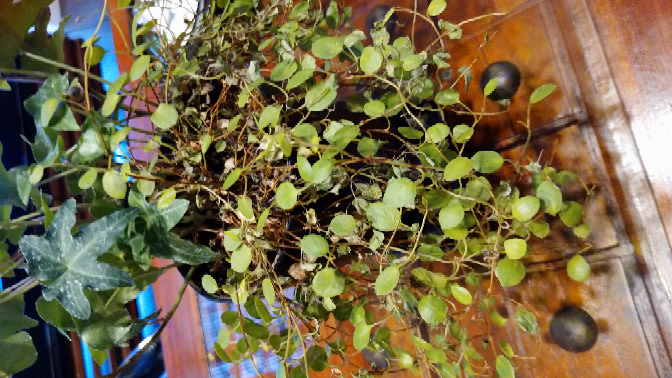観葉植物についてです。 冬の間、元気に育っておりました。3月下旬頃になり 根元付近がチリチリになる 現象が起きました! なにか対処法があれば 教えてください。