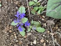 庭先に可愛い花を見つけましたが、 調べてもわかりません。 幅3センチ位のとても小さな可愛い花です。 どなたか名前をご存知ですか? 詳しい方教えて下さい。 宜しくお願い致します。