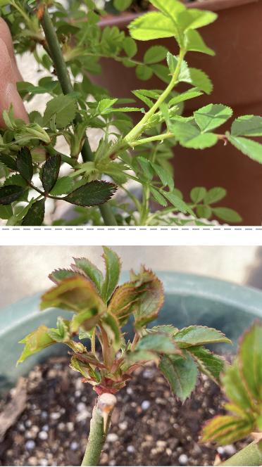 薔薇のことで質問です、宜しくお願いします。 この画像、上下の薔薇の枝はブラインドですか? 30鉢くらいあるのですがこんな芽が沢山出ています(ノД`)。 いつもと違うのは、暖かくなるのが早いのです...
