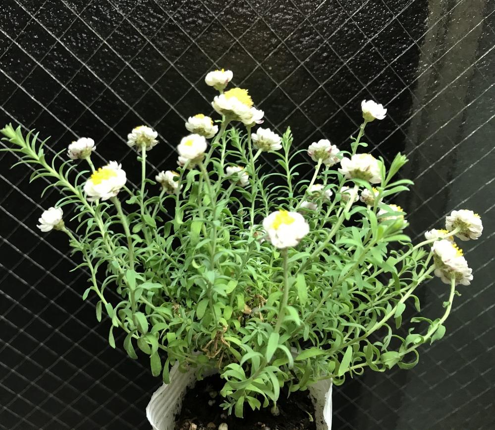 花かんざし。 花かんざしの中央と言いますか、真ん中付近で茶色くなってきてしまいました。 他の花で調べてると根腐れというのが 出てきたのですが、水のやり過ぎでしょうか? 水やりは表面が乾いてきたと...