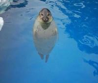 アザラシって、水中で垂直な体勢で頭だけ出してるのって楽なのですか? テレビで水族館のアザラシの特集を見ると、この画像のような体勢でいるアザラシが放映されることが少なくないです。  この前下関の海響館に...