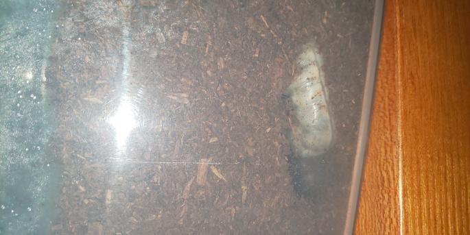 オオクワガタです。 何故か写真が縦横回転してしまってますが、割と綺麗な空洞ができています。 蛹室作り途中ですか? それとも食べ進めた結果ですか? おそらく食べ進めた結果ですよね? そこまで縁が濃くなってませんし(気持ち…?)。 ただ、ここまで綺麗な空洞ができたのははじめてです。 飼育し始めたのは1月末で、それまではホームセンター、購入してからは人間用に暖房で暖めた部屋でした。