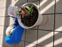 チューリップの球根をホームセンターで購入し、植木鉢に入れて、園芸用の土を入れて、2週間ほど経ちました。 最初は葉っぱが全部緑だったのですが、だんだんと元気が失くなっている様に見えます。 水は毎朝たっぷりあげている、という育て方ですが、アドバイスいただけないでしょうか。  セロハンテープは大きさの比較参考です。宜しくお願いします。