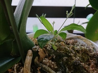 胡蝶蘭の鉢植えから生えてきました。 この植物の名前がわかる方はいらっしゃいますか? このまま胡蝶蘭と一緒に育てて問題はないでしょうか?