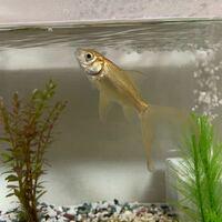 この魚はなんですか?わかる方教えてください。 2年前に金魚すくいで我が家に来た金魚です。 が、金魚とは違うんじゃないかと思いながら2年経ちました。 小さい頃は銀色 今はシャンパンゴールド 12センチくらい...