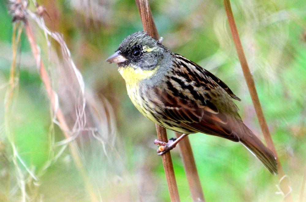 図鑑で確認しましたがわかりません。河川敷の草むらで1羽でとまっていました。頭は黒で、嘴はカワラヒワ的、目の横に黄色の線が入っています。 喉は黄色。羽はホオジロに似ています。写真の鳥はなんという鳥...