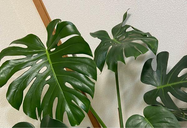 モンステラの葉がこんな感じで 元気がないように見えるのですが これはなんででしょうか?