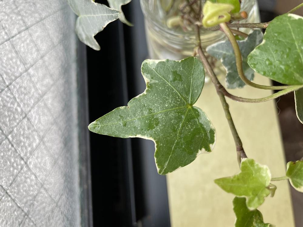 ヘデラの葉っぱに、白く小さな点々があります。 これは、病気ですか?