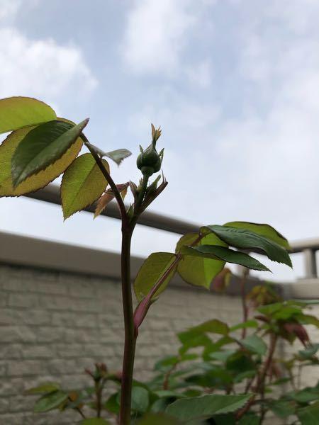 暖かくなりバラの新芽が芽吹き小豆大の蕾も沢山つき始めました。 この時期の水やりは土の表面が乾いていたら、たっぷりお水をあげれば良いのでしょうか 春は乾燥気味にした方が良いなど情報が沢山あり、一...