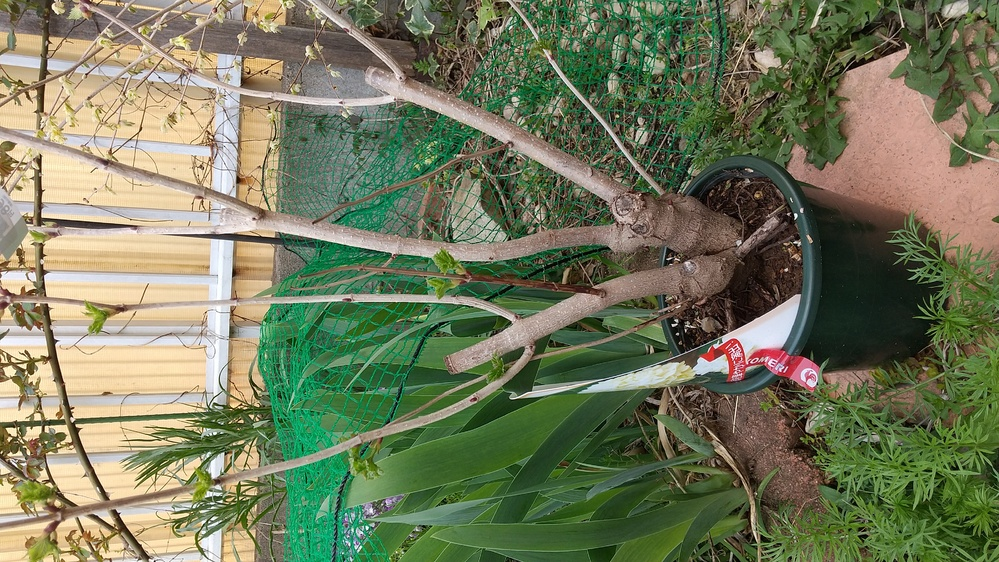 ビバーナムスノーボールを この3月末に買いました。植え替え時期は3月までなんで苗が黒ポットに入ってあってプラ鉢が被せてあるのですが秋までこのまま育てて植え替えは落葉まで待ったらいいですか?それと...