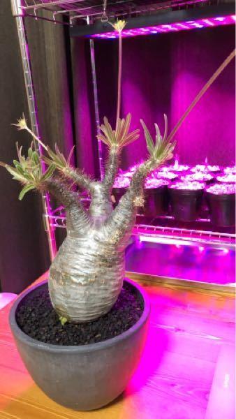 観葉植物屋さんでパキポディウム グラキリスの発根済みの現地球を購入しました。 基本的な育て方と育てる際に特に気をつけた方がいいことを教えてください。(特に水やり) 管理場所は、室内で植物ライト...