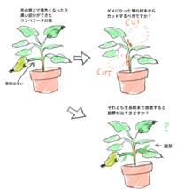 ウンベラータの葉の剪定について質問させてください。 冬の寒さで少し黄色くなったり黒い部分が出来て一部枯れてしまった場合(落葉はしていません)、 そうなった時点ですぐに葉っぱの根本からカットすべきでしょうか? それとも、生長期まで葉を切らずにおくと幹の部分が成長して脇芽が出てきてくれるのでしょうか?  今まではダメになった葉は根本からカットしていたのですが、成長点のある箇所ではないので新芽も出...