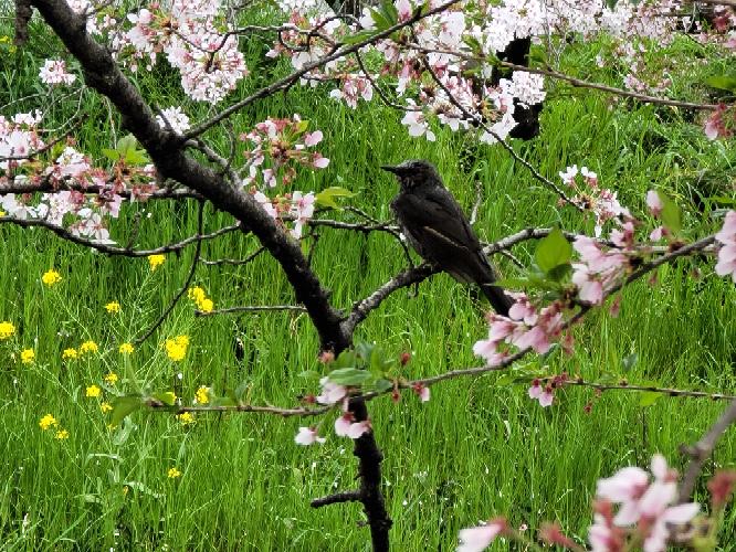 五条川に来ています。 写真の鳥の名前を教えてください!