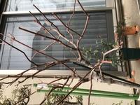 一昨年、スタンダードのアイスバーグを買い、地植えしました。一昨年、去年と綺麗に咲きました。 今年の冬に剪定したり葉を落としたりしました。春になり、葉は一枚も出てこず、新芽は出ているようなのですが、成長しません。これはもうダメなのでしょうか?  画像が横になってしまいました。すみません。