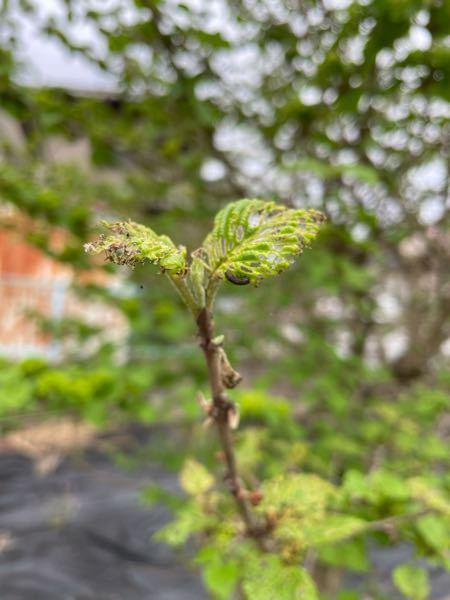 オオデマリにつくこの黒い虫はなんですか? いつも葉っぱを食べ尽くされてしまいます。。 退治の仕方はありますか?