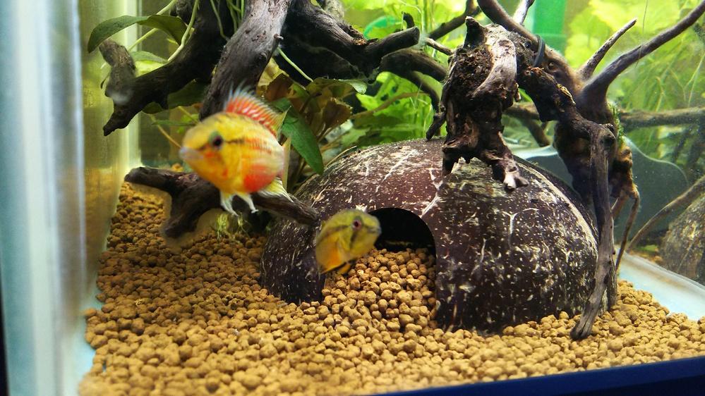 アピストグラマホングスロイスーパーレッドのペアー繁殖水槽で飼育していますが、 雄雌共に繁殖色で、とても仲の良い状況です。しかし、ここ最近ココナッツシェルター内のソイルを雌が入り口付近に掻き出して...