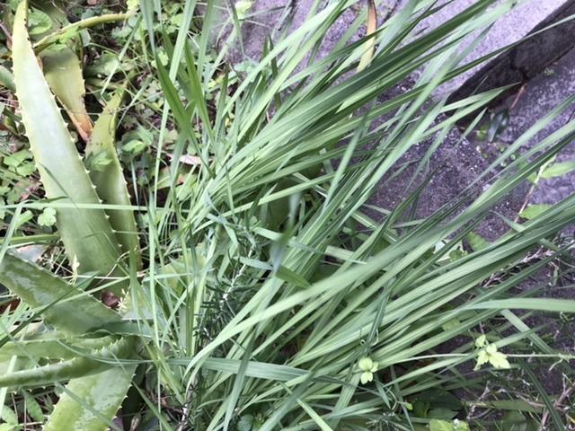 庭に沢山生えてきましたがなんの植物でしょうか? 根っこは小さな球根のようになってます