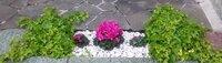 花壇の花を考え中です。 このシクラメンは去年11月頃から今冬まで楽しませてもらいました。 シクラメンの後、何を植えようかと。 アイビーはそのままで。 去年は夏に向かってブルーのサフィニアでした。 その前もブルーと白のサフィニア。  今年は何か目先の変わった(もちろん暑さに強い)ものをと 思うのですが何か候補を教えて頂ければ幸いです。 南向きの場所に位置しています。  暑さ対策はガーデンパラソ...