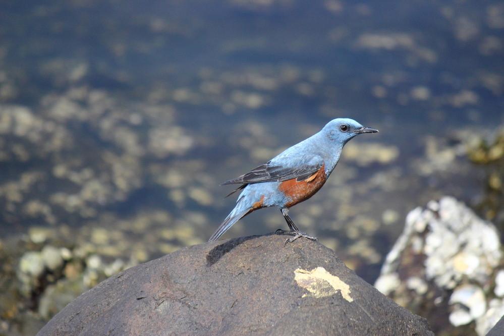 この写真の鳥の名前を教えて下さい。 水辺(汽水湖)の岩をぴょんぴょんと移動していました。