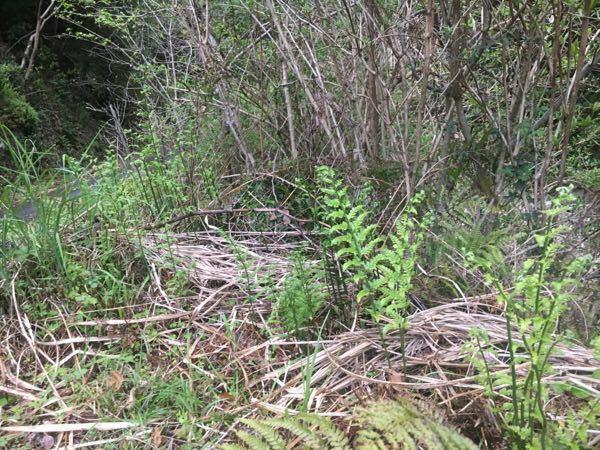 シダについて このシダの仲間について教えてください。 濃い緑の葉柄と鮮やかな緑の小羽片を持ち、立ち上がるように葉を展開させています。 川沿いにまとまって生えていました。 毛は少ないです。