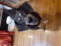 特徴のある迷い犬を探してます。  4月6日(火)午前11時ごろ 自宅の門柱を自分で開けて脱走した我が家の犬を探しております。 犬の特徴は 顔に特徴があり 眉毛がマロ柄のビーグル雑種の メスです。毛の色はブラックタン。 耳も特徴があり、かなり大きく 耳の色は真っ黒です。 年齢は5~8歳。 避妊手術済み、マイクロチップも挿入済みです。体重22キロです。 性格は、とても人懐っこくて 人間が大好きな...