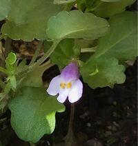 タネからの鉢植えで小さな花がひとつ咲きました。名前を忘れてしまって、確かビオラだったと思うのですが花の形がビオラとはちょっと違うような気がして・・名前を教えてください。