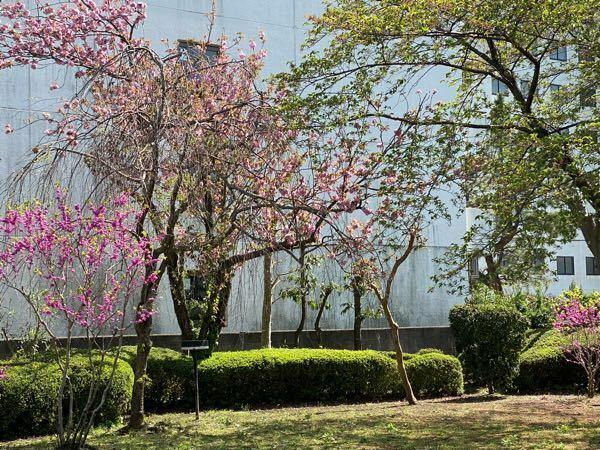 枝垂れ桜はいつ咲くのでしたか? ソメイヨシノも終わり、 八重桜が満開になってきたのですが、 枝垂れ桜がまだです。 なんだか、少ーし葉は出てる枝もありそこにほんの何輪か花が寂しそうに咲いてます。