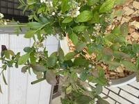 ブルーベリーなのですが、これって枯れてきているのですか? 毎日水をあげているのですが足りないということでしょうか? ちなみに、三月半ばごろに園芸店で購入し、植え替えまでしてもらったものです。