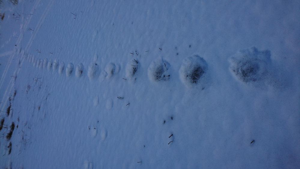 これは何の足跡でしょうか? 熊という人と熊ではないという人がいるのでわかりやすく 説明していただけると嬉しいです。 大きさは約10㎝×10㎝です。 「熊ではない」という人はなぜ一つの足跡の大き...