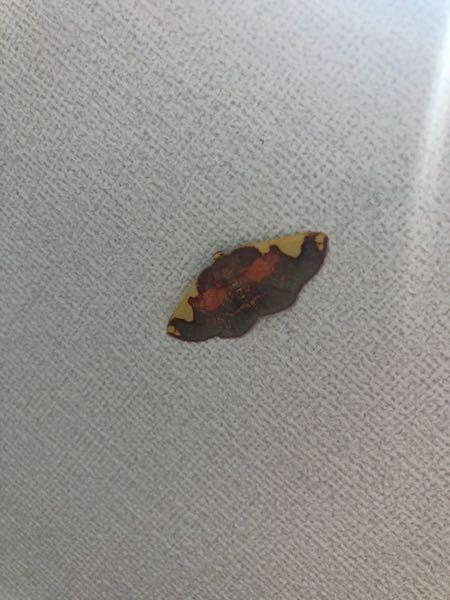 これはなんという種類の蛾ですか? 3センチくらいです。
