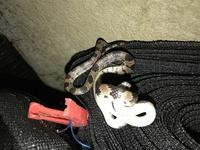 このヘビはシロマダラですか?