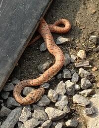 これって何の蛇か分かりますか? いつも見る蛇って黒系のマムシなので…。 夜に駐車した時に、車で踏んでたみたいで、 地面に敷いてるゴム板から出てきて死んでました。
