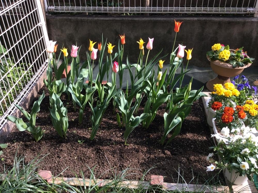 我が家の花壇です。チューリップが、今ひとつ華やかじゃありません。開花時期に大きな開きがあることも原因かもしれません。 また、根元に何も植えていないからかもしれません。手前の空きスペースには、ついこの間までスイセンが20本植えてありましたが、枯れたので抜きました。むき出しの土の面積が大きいから、華やかさに欠けるのでしょうか。 近所の歩道の脇にも長い距離に渡ってチューリップが咲いているのですが、...