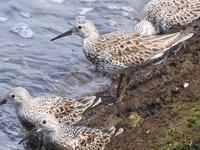 水鳥の名前を教えてください。北部九州、海辺を散歩中にみかけました。トウネンでしょうか?。集団(10羽程度)でいました。