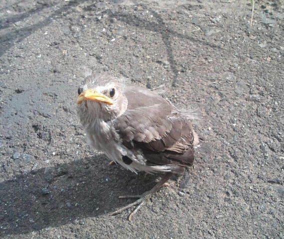 何かのヒナのようですが この鳥は、なんという名前の鳥でしょうか? 大きさは頭の先から尻尾まで10cmくらいです。 親鳥?と数羽で居たのですが、 みんな飛び去ってこの子だけ取り残されていました。