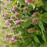 この、ホトケノザと似たような植物の名前は何ですか。