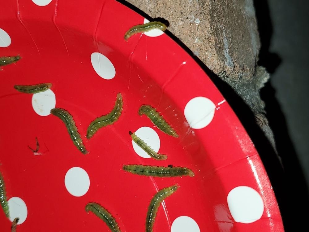 金木犀にこんな芋虫が大量についているのですが対処の方法ご存知の方いましたらお願いします。 葉っぱが沢山食べられているので至急お願い致します。