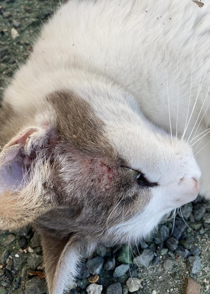 猫の病気に詳しい方にみていただきたいです。 この猫は近所のノラ猫で餌付けなどをされてるのはとても人に懐いてます。いつも駐車場の隅でゴロゴロしてて、餌をもらってる形跡はないものの、そんなにガリガリでもないので、おそらくどこかでひとに餌付けはされてるとおもいます。 で、このノラ猫に出会ったのは半年まえで、毛並みからみてもまだ若そうな子なのですが、両方の目の上(眉毛あたり)が皮膚病のようになって...