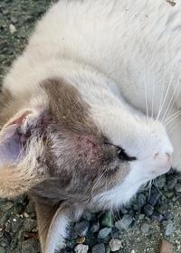 猫の病気に詳しい方にみていただきたいです。 この猫は近所のノラ猫で餌付けなどをされてるのはとても人に懐いてます。いつも駐車場の隅でゴロゴロしてて、餌をもらってる形跡はないものの、そんなにガリガリでも...