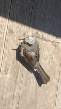 ディズニーランドでごはんを食べていた時に寄ってきた鳥の名前を教えてください。 人を恐れず、近くまで近寄り人が落とした食べ物を食べていました。