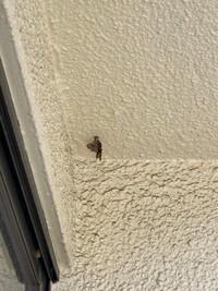 ベランダに作り始められていたアシナガバチの蜂の巣を自力で駆除しました。 女王蜂は飛んでいきおそらく殺虫できたのですが、蜂の巣の方がほうきで取った際にベランダの外に飛ばしてしまいどこかにいってしまいました。 巣の作り始め段階(穴は4〜5個ほどで一段目のみ)でしたが幼虫は女王蜂がいなくても孵化してしまうのでしょうか?   駆除方法は役所のHPに掲載されていた方法で行いました。