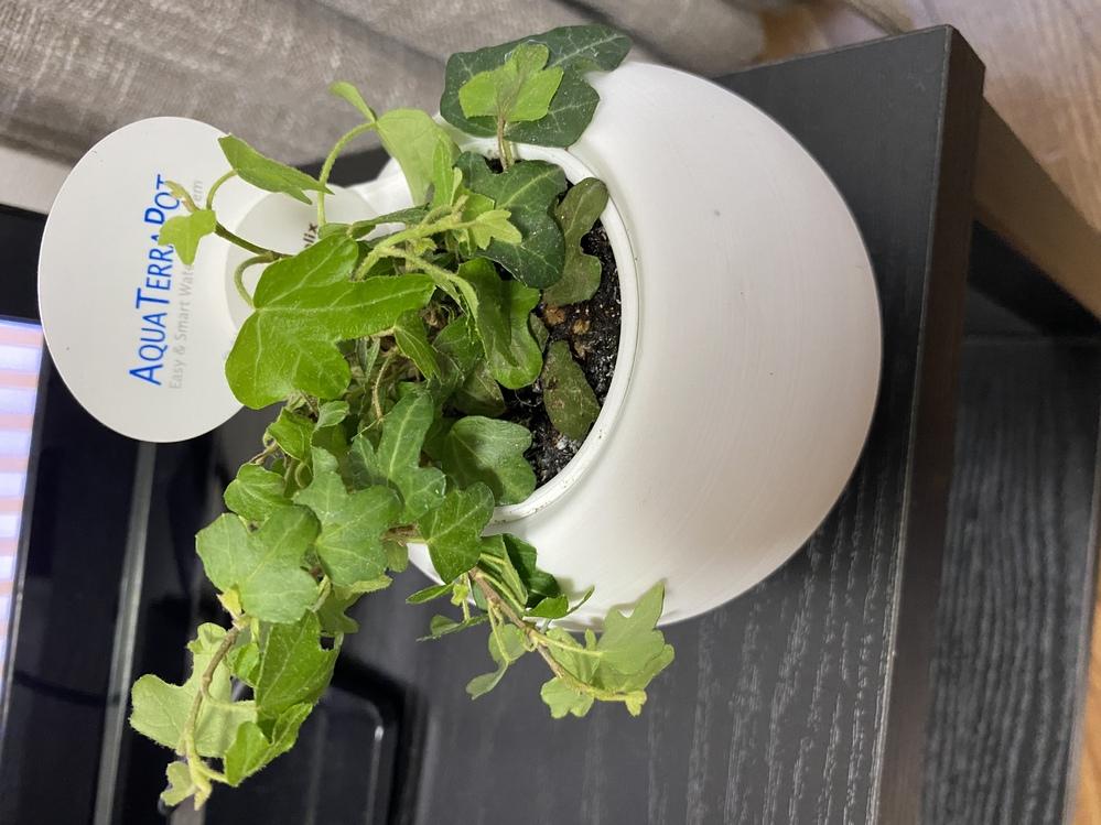 観葉植物のヘデラヘリックスを最近育て始めたのですが、買ってすぐに水やりをすっかり忘れてしまい、 しょぼんとしていて元気がなくなってしまいました。 この観葉植物は元気になるのでしょうか。 よろしく...