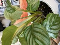 カラテアオルビフォリアの 茎が茶色だったり黄色くなってきます。 下の方の葉もシワシワで、茶色い点が付いた葉もありますし、全体的に葉が、葉先から茶色くなってきています。 葉水は毎日やっています。 水は表面が乾いてから、たっぷりやっています。 土を観葉植物用7:多肉用3に植え替えました。 新芽が一つ出ているので安心してましたが、他の葉に元気がない感じがします。 初心者でして、知恵をお...