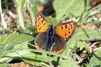 このチョウの名前をご存知の方教えて下さい。