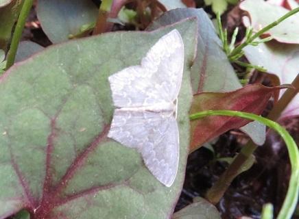 どなたか、この蛾の名前を教えていただけないでしょうか。