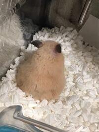 キンクマハムスターを飼っています。 生まれて4ヶ月です。 この子の毛並みが良いかどうか教えてください。